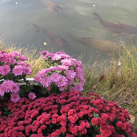 菊と鯉.jpg