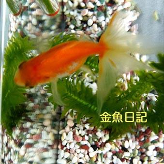 金魚日記.jpg